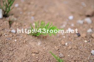 春の雑草スギナ