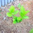 お庭で育てる落葉低木:紫陽花(霧島の恵)